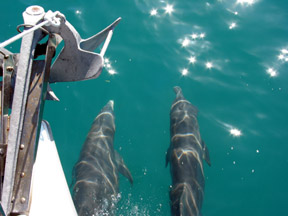 Dolphins, playing in our bow wave in Hawk Channel.