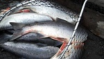 One days catch on the Kenai River fishing for Sockeye Salmon.